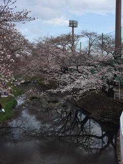 3月末の桜.JPG