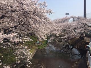 4月7日の桜.JPG