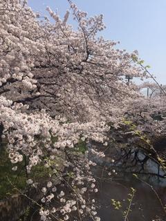 4月7日の桜UP.JPG